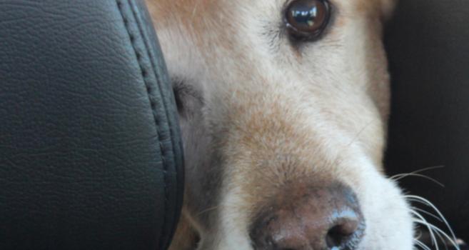 Al Salir De Viaje Con Perros Senior