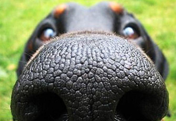 Los perros tienen súper olfato