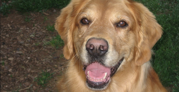 ¿Por qué a los perros se les despinta la nariz?