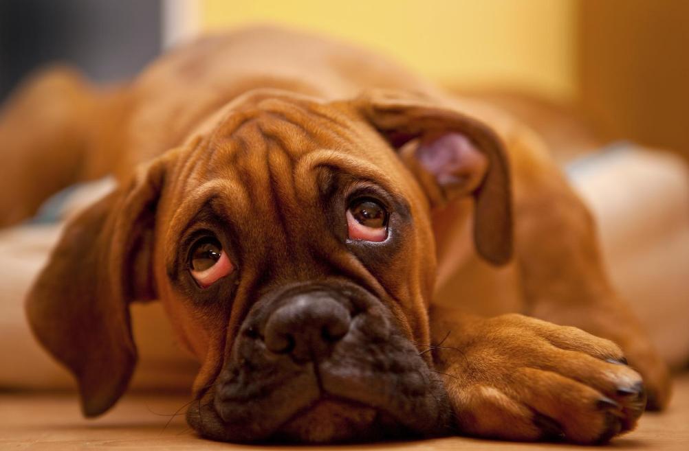 Ojos rojos en los perros