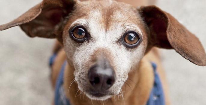 ¿Por Qué Los Ojos De Mi Perro Han Cambiado?