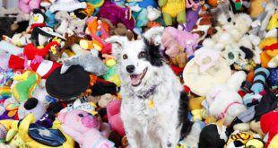 """South Carolina (Usa), Chaser, il cane che riconosce 1022 giocattoli. Chaser, una Border Collie di sei anni, ha superato ogni aspettativa, arrivando a comprendere il significato di 1022 parole, perlopiù giocattoli. Chaser riesce a scegliere l'oggetto indicato anche anche dalla la funzione e dalla forma ed è anche capace di rispondere a tre comandi relativi ad ogni singolo oggetto: """"muovilo con la zampa"""", """"toccalo con il naso"""" e """"portalo"""". I due psicologi hanno addestrato Chaser per tre anni, lavorando con lei dalle 4 alle 5 ore al giorno."""