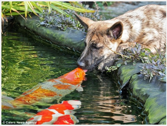 Una familia de Koi y un perro