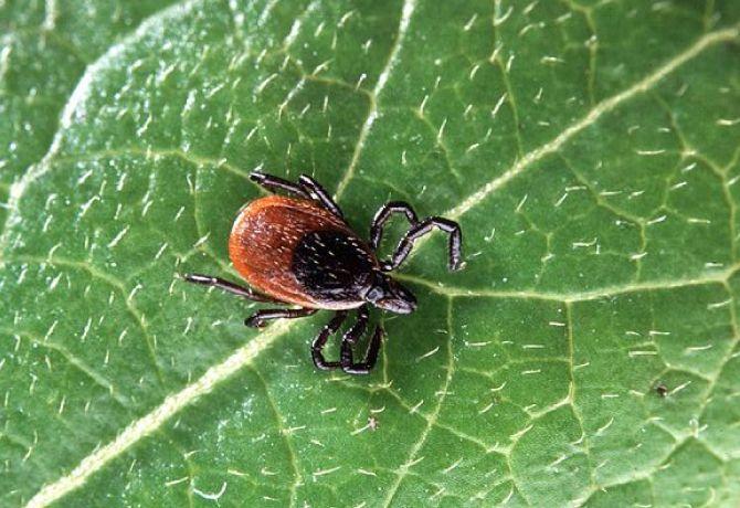 Plantas para alejar pulgas y garrapatas
