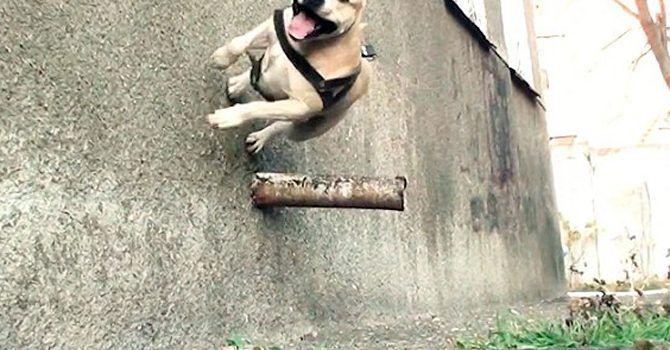 Perros Que Hacen Parkour