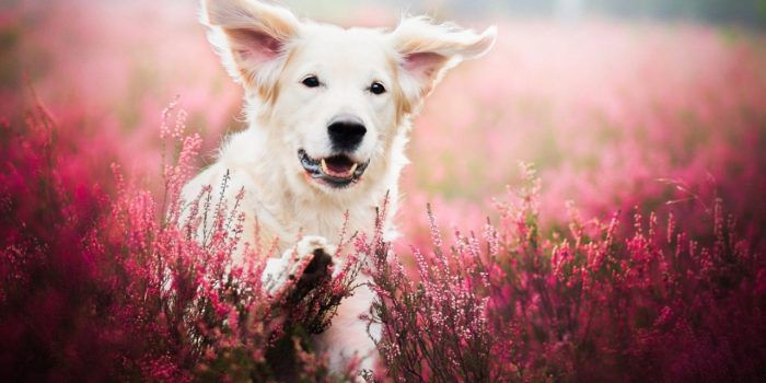 Dog Face In Flower Field Wallpaper 1280×720
